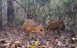 Phát hiện loài hươu nhỏ như chuột tưởng tuyệt chủng tại Việt Nam