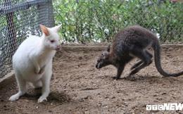 Ảnh: Ngắm đàn 'Kangaroo mini' lần đầu tiên xuất hiện tại Việt Nam