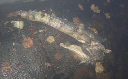 Bí ẩn xác cá sấu bị xẻ đôi trên phố đi bộ khiến dân mạng 'dựng tóc gáy'