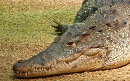 Kiểm lâm thoát chết trước hàm cá sấu khi chọc mù mắt con vật