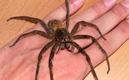 10 loài nhện nguy hiểm nhất thế giới: Nếu bị số 10 cắn, có thể mất mạng chỉ sau 1 tiếng