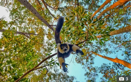 """Chùm ảnh: Vượn cáo treo ngược thân trên cây """"trộm"""" camera bất thành"""