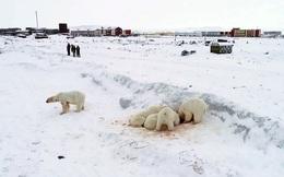 24h qua ảnh: Gấu Bắc cực kiếm ăn ngay sát ngôi làng Nga