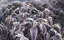 Xót xa cây cà phê chết vì sương muối, nông dân Sơn La trắng tay