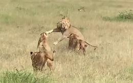 """Sư tử đực """"trót dại"""" giành mồi với sư tử cái, kết cục bị đánh hội đồng đến """"thân tàn ma dại"""""""