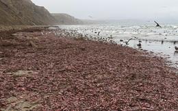 Hàng ngàn sinh vật có hình thù nhạy cảm, nằm lúc nhúc trên bãi biển California