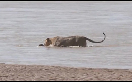 """Sư tử mẹ ngoạm cổ, cứu con non đang chìm dưới dòng nước """"tử thần"""""""