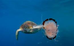 Cảnh rùa biển xé xác sứa ăn tươi nuốt sống khiến nhiếp ảnh gia rùng mình