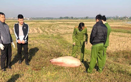 Bỏ cả xe máy và lợn giữa đồng khi bị công an theo dõi