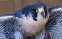 1001 thắc mắc: Vì sao gọi chim cắt là 'Chiến đấu cơ có lông'?