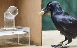 Nghiên cứu mới xác nhận một trong những loài chim thông minh nhất thế giới: QUẠ