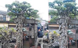 Rễ cây cảnh đắt giá bám chắc vào cổng, người mua phải dùng cả cần cẩu, đánh xe tải chở cả cụm