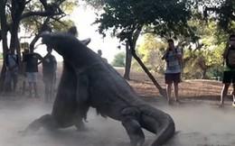 Thế giới động vật: Rồng Komodo chiến đấu nảy lửa bất phân thắng bại