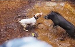 Sốc cảnh đấu trường chó pitbull tử chiến lợn rừng