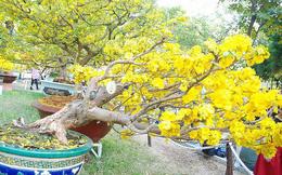Ngắm những cây Mai thế độc đáo trong vườn hoa Tao Đàn