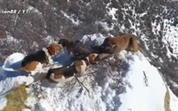 Thế giới động vật: Đàn chó săn dồn ép báo sư tử tới bờ vực thẳm