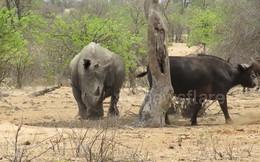 Thế giới động vật: Đàn trâu rừng lảng đi khi đụng mặt tê giác