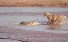 Thế giới động vật: Cá sấu oằn mình chống trả 3 con sư tử
