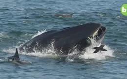 Giây phút hãi hùng của người thợ lặn kẹt trong miệng cá voi