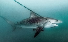 24h qua ảnh: Cá mập bị mắc lưỡi câu của ngư dân