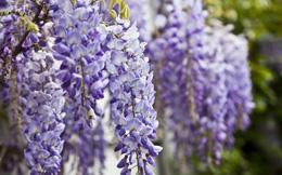 Những loài hoa mang nét đẹp lung linh nhưng lại độc hại kinh người