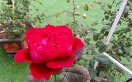 Ảnh: Ngỡ ngàng vẻ đẹp của thung lũng hoa hồng lớn nhất Việt Nam