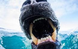 Vua hủy diệt: Cận cảnh loài động vật có cú cắn mạnh nhất hành tinh