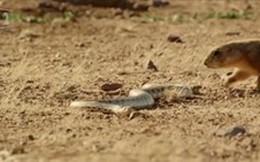 Thế giới động vật: Cầy liều mình để bảo vệ con trước rắn trâu