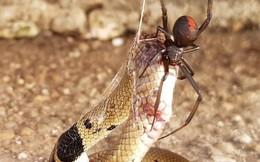 Sở hữu kịch độc, rắn nâu phương Đông vẫn chết yểu dưới tay kẻ thù bé hơn cả chục lần
