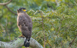 Diều hoa Miến Điện: Loài chim quý thuộc Sách Đỏ IUCN mang vẻ đẹp dũng mãnh hiếm có