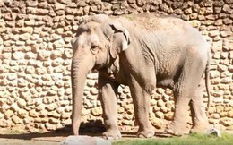 """""""Con voi buồn nhất thế giới"""" qua đời sau 43 năm bị nhốt"""