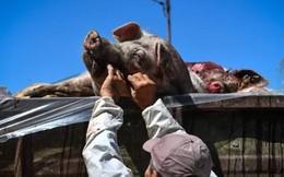 Các nước trên thế giới chống dịch tả lợn Châu Phi như thế nào?