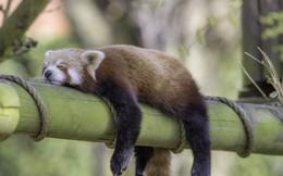 Động vật có thể sống sót không nếu không ngủ không?