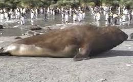 Thế giới động vật: Voi biển ngoe nguẩy giận dữ đuổi chim cánh cụt