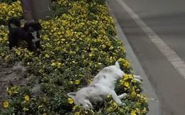 Bạn bị xe tông chết bên đường, chú chó nhất quyết ở bên, không cho ai lại gần