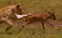 Thế giới động vật: Sư tử vờn con mồi trước khi ăn thịt