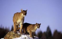 Bắn chết 3 con sư tử núi, 3 thanh niên lĩnh cái kết thích đáng