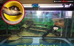 """""""Trẻ con biết gì đâu"""" và nỗi uất hận của ông chủ con cá rồng bị chết"""