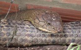 """Thông tin mới về số phận của cặp rắn """"khủng"""" nặng 60 kg, dài hơn 6m vừa bắt được dưới chân núi Cấm"""