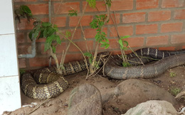 """Cận cảnh cặp rắn hổ mây """"khủng"""" vừa bắt được dưới chân núi Cấm được nuôi nhốt: Một con có dấu hiệu lột xác"""
