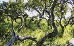 Kỳ quái vườn cây cổ thụ xoắn ốc ở Canada