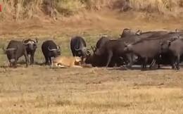 Video: Cả đàn trâu rừng đánh đuổi 3 con sư tử đói, giải cứu đồng loại