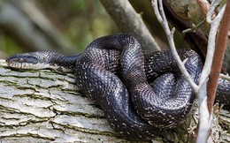 Cuộc chiến sống còn giành bạn tình của 2 con rắn chuột