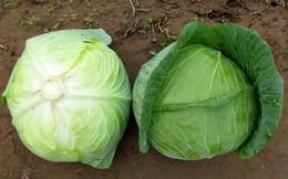 """Bắp cải loài rau được ví """"thần dược của người nghèo"""": Hãy nghe chuyên gia nói về tác dụng"""