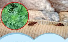 Bọ rệp giường hoành hành ngày mưa ẩm, chỉ cần nguyên liệu này thôi là có thể 'đánh bay' bọn chúng, đặc biệt là số 1