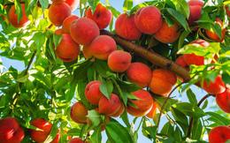 Hướng dẫn từng bước trồng được chậu đào sai trĩu quả từ hạt