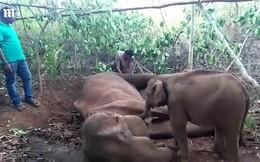 Video: Cảm động cảnh voi con lay gọi voi mẹ trong vô vọng