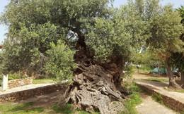 Bí mật của cây ô liu cổ thụ nhất hành tinh, ít nhất 3000 năm tuổi trên đảo Crete