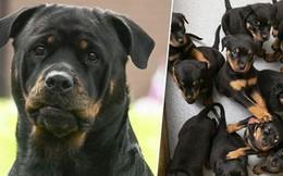 Lạ kỳ chó mẹ lập kỷ lục sinh tới 16 con một lứa