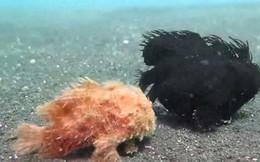 Video: Kinh ngạc loài cá đi bộ, đớp mồi nhanh như chớp